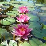 3_lotus
